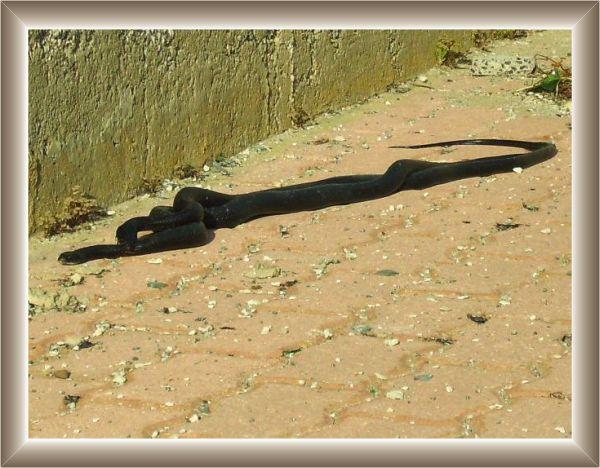 Serpenti for Biscia nera